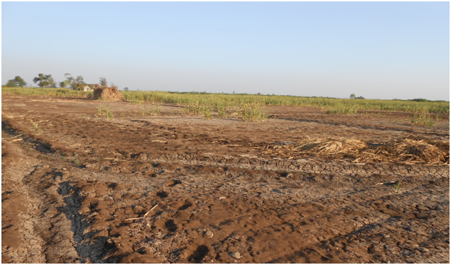 Plate 1: View of land affected by continuous application of spentwash for > 20 years